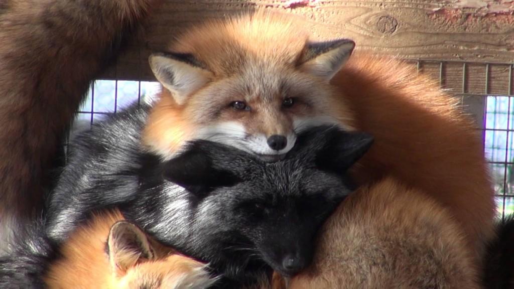 zao fox village japan (2)