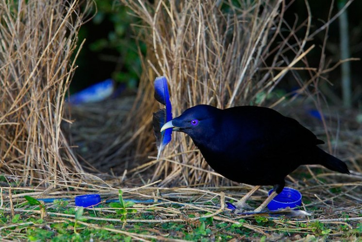 bowerbird nest, unusual nests