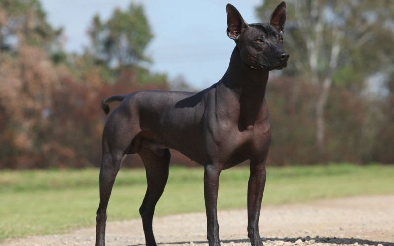 Five Hairless Dog Bree...