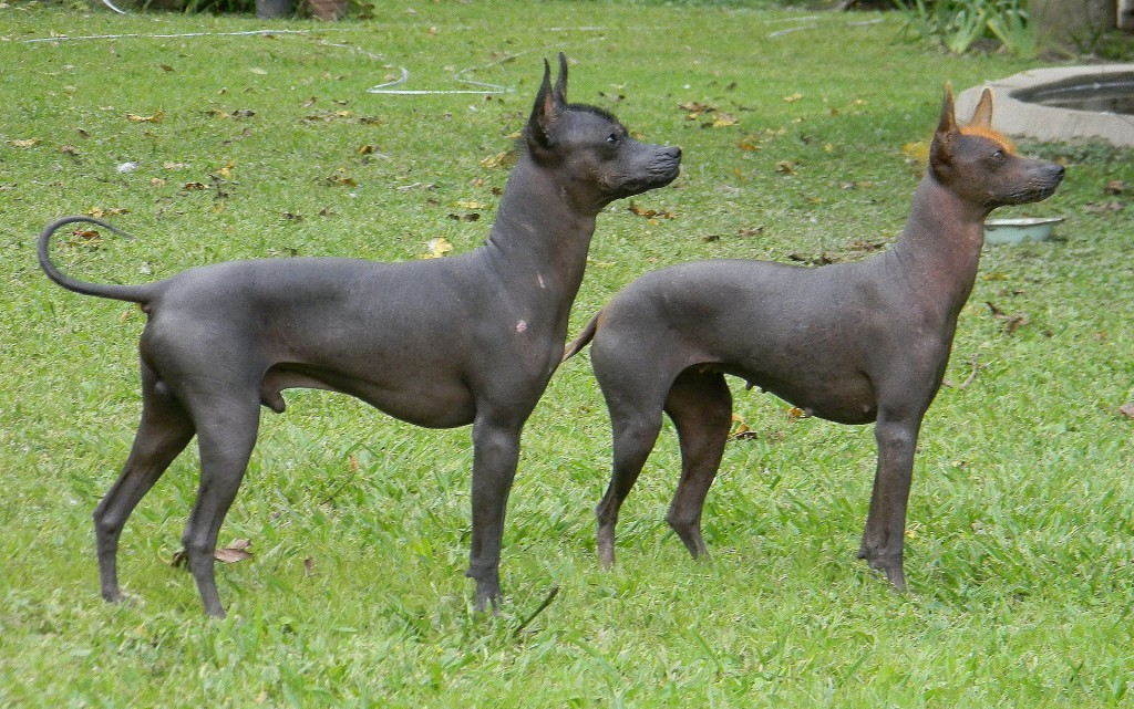 five hairless dog breeds man s best naked friends