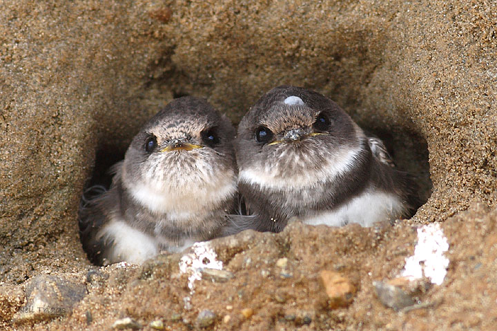 sand martin, unusual nests