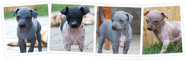 American Hairless Terrier puppies, hairless dog