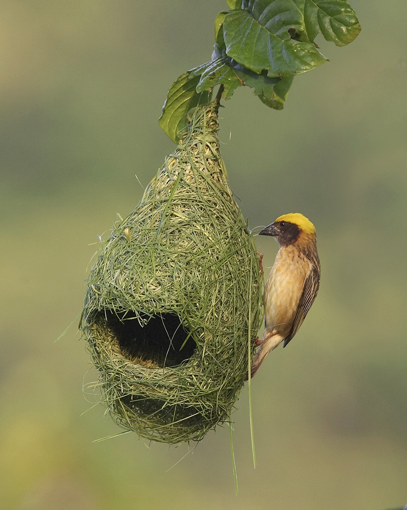 baya weaver nest, unusual nests