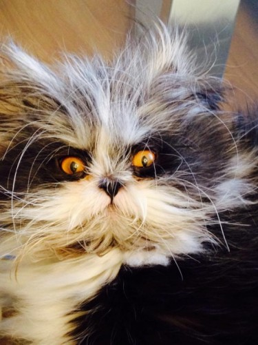 Meet Atchoum, the Owl-like Cat with a 'Haywire Hair' Condition