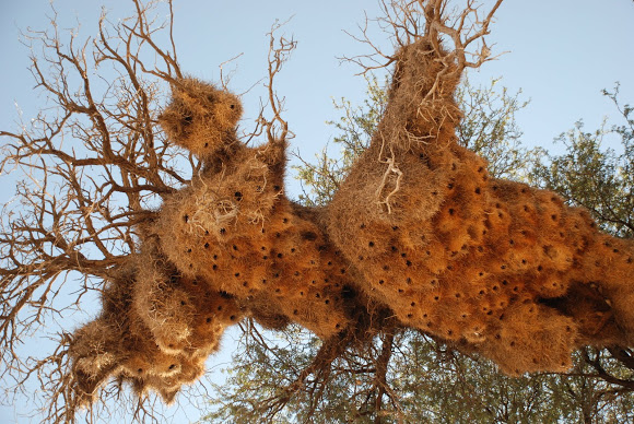 sociable weavers nest, unusual nests