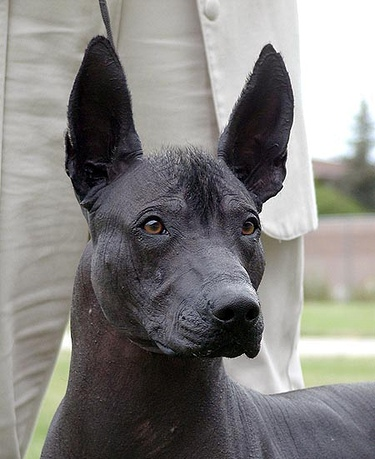 Xoloitzcuintli Five Hairless Dog Bree...