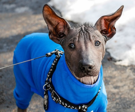 Xoloitzcuintli, mexican hairless, hairless dog