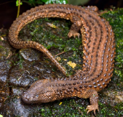 earless monitor, Lanthanotus borneensis (3)
