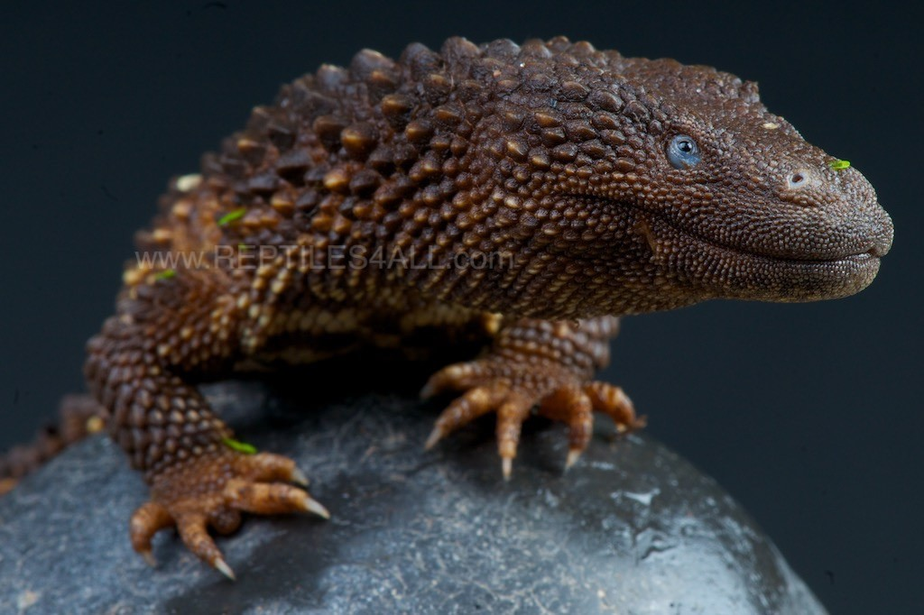 earless monitor, Lanthanotus borneensis (1)
