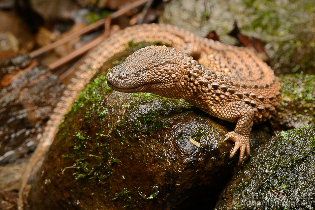 earless monitor, Lanthanotus borneensis (2)