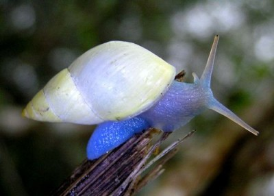 Mysterious Blue Snail 'Glows' Like It's Radioactive!