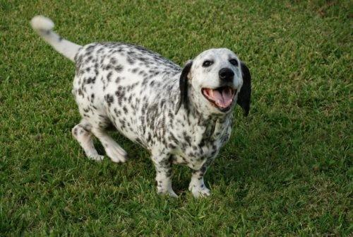 Dalmatian Basset Hound