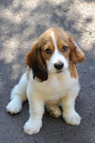 cocker spaniel basset hound