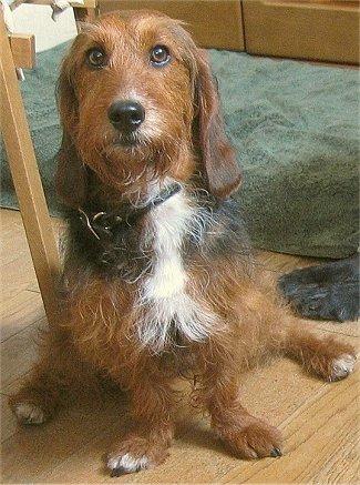 poodle basset hound