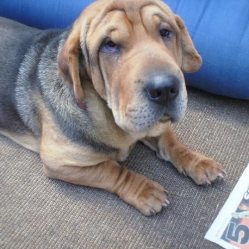 shar pei basset hound