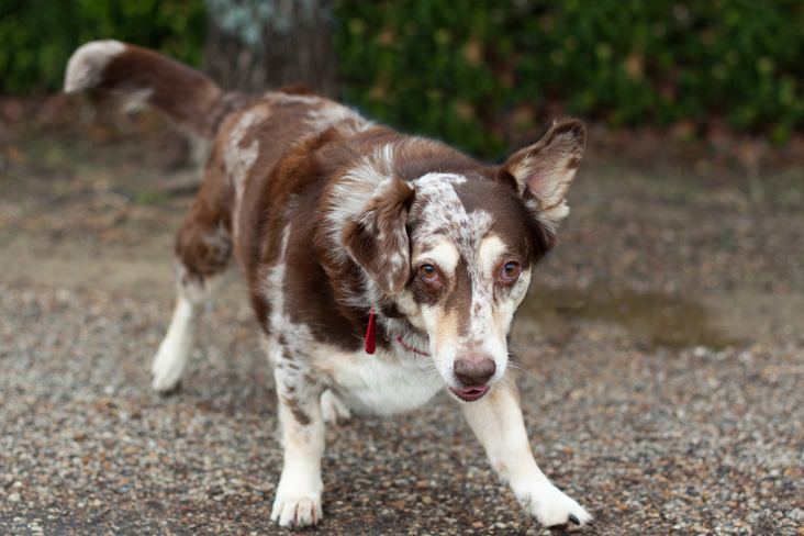 australian shepherd basset hound