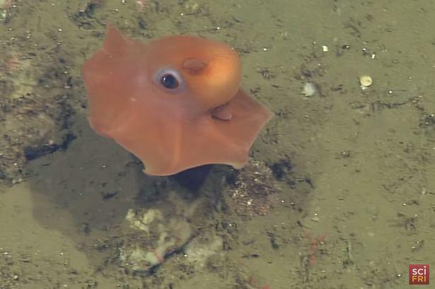 cute octopus, Opistoteuthis adorabilis (3)