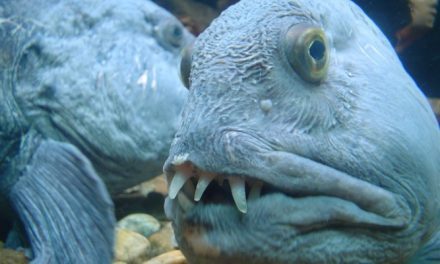 Six Weird Fish With Even Stranger Teeth