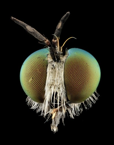 robber flies compound eyes