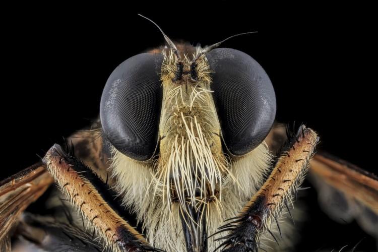 robber flies beard