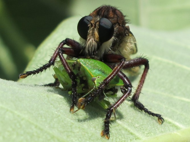 robber flies with bug