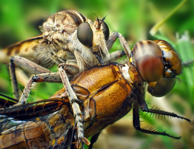 robber flies with dragonfly