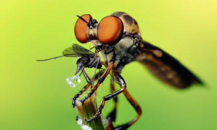 Robber Flies Give Other Bugs Nightmares, Here's Why