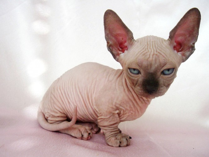 6 Strange Breeds of Hairless Cats | Featured Creature