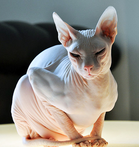 6 Strange Breeds of Hairless Cats