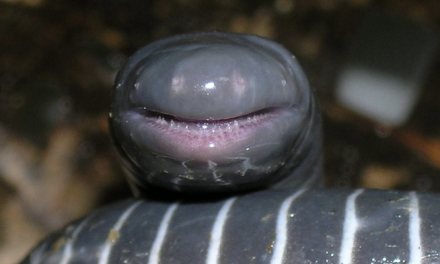 Ringed Caecilian: I'm Smiling Because I Eat Skin