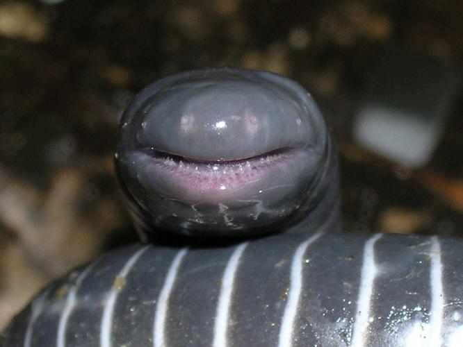 Ringed Caecilian: I'm Smiling Because I Eat Skin