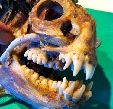 wolffish skull, weird fish