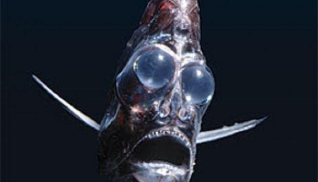 deep sea hatchetfish, weird fish