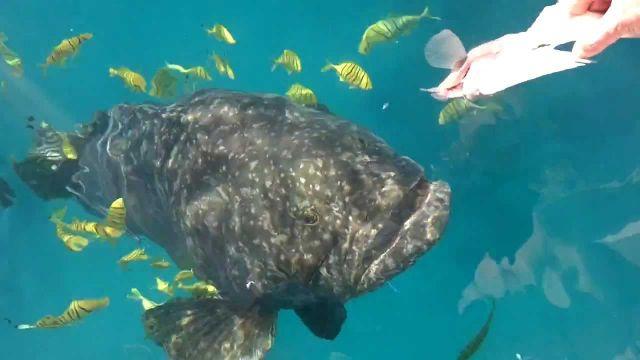 queensland grouper, weird fish