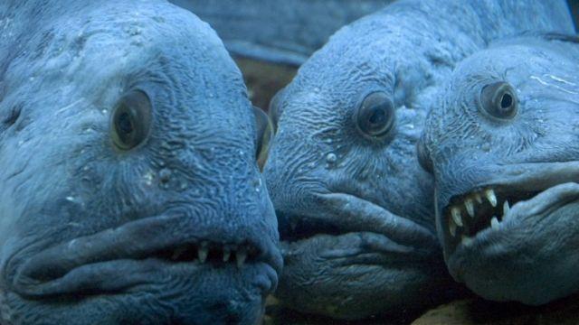 wolffish teeth, weird fish