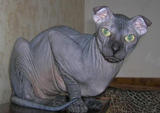 Ukrainian-Levkoy hairless cat