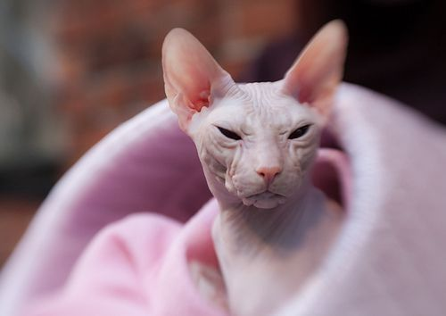 donskoy hairless cat