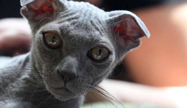 ukrainian levkoy hairless cat